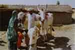 Bullock worship on 'Pala' day
