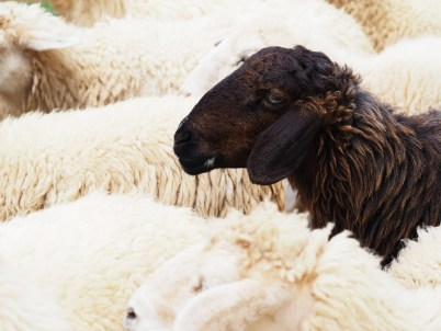Close up head of black sheep in the flock of white sheeps