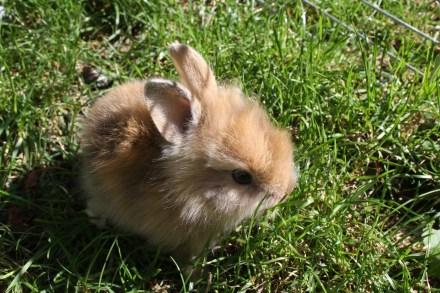 dwarf-rabbit-270000_1920