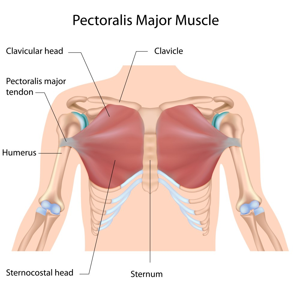 medium resolution of as you can see above the chest is comprised of the pectoralis major and pectoralis minor the pectoralis major being the muscle we re working 99 of the