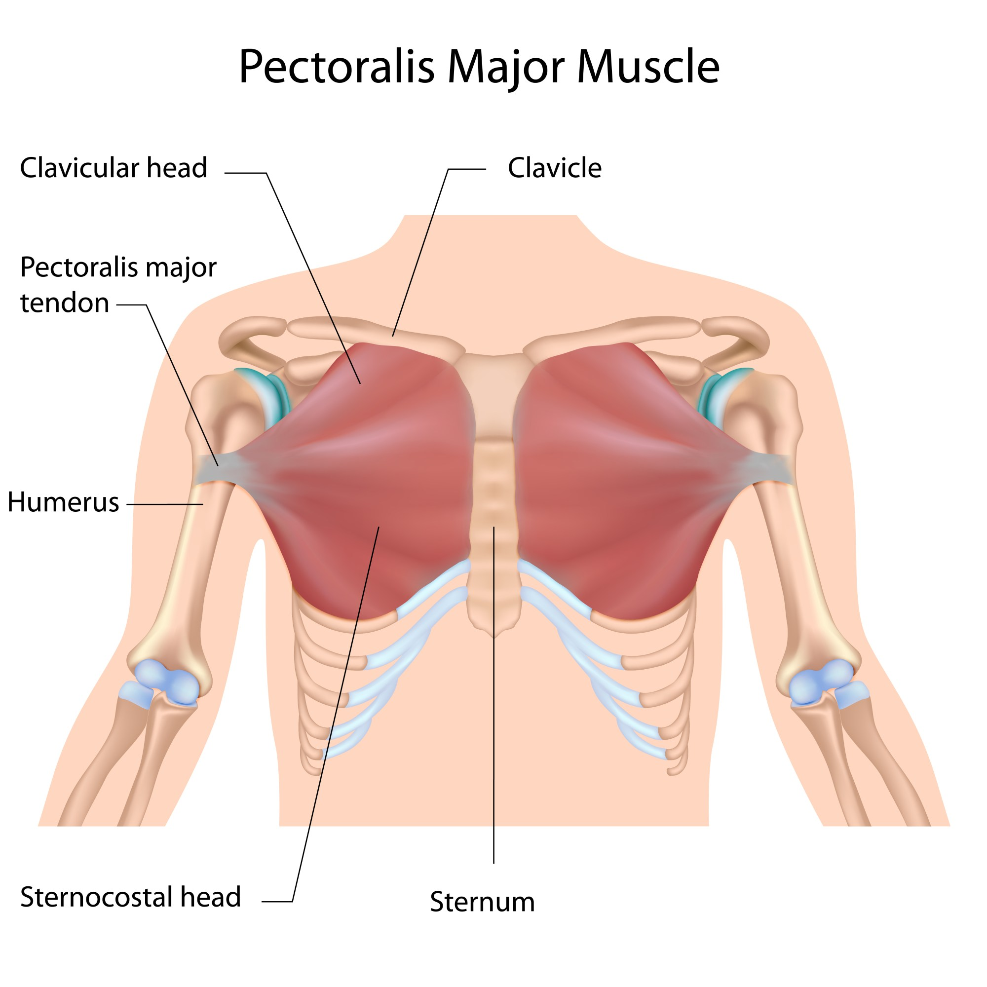 hight resolution of as you can see above the chest is comprised of the pectoralis major and pectoralis minor the pectoralis major being the muscle we re working 99 of the