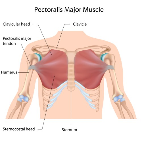 small resolution of as you can see above the chest is comprised of the pectoralis major and pectoralis minor the pectoralis major being the muscle we re working 99 of the