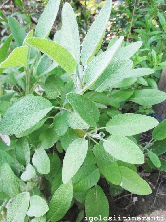 L'erba della buona salute: la SALVIA