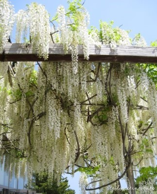 Glicini bianchi al parco stagionale Hitachi, nella prefettura di Ibaraki