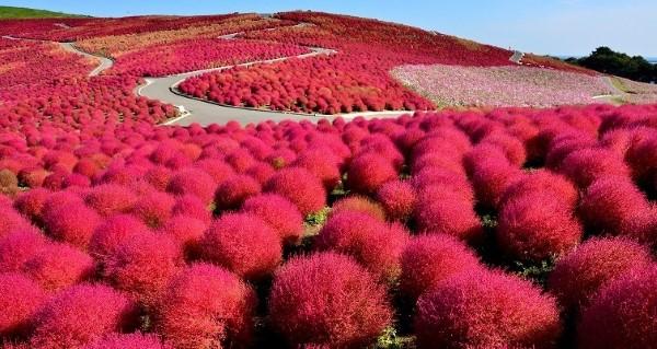 Cespugli di kokia rossa all'Hitachi seaside park