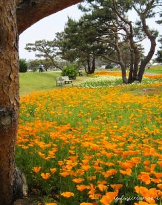 Papaveri arancioni al parco stagionale Hitachi, nella prefettura di Ibaraki