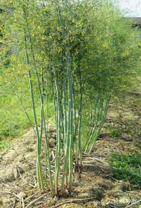 Asparagi verdi presso l'azienda agricola Gatti di Zelarino