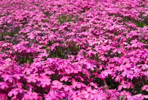 Fiori di shibazakura (pink moss)