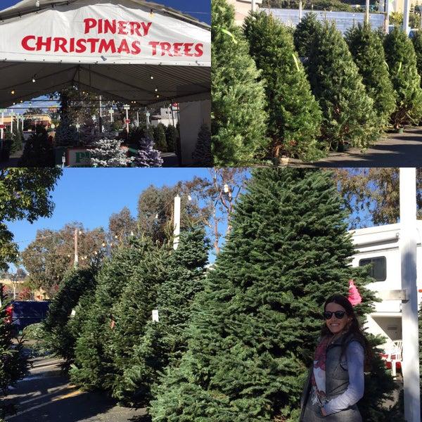 pinery christmas trees rancho bernardo christmaswalls co - Pinery Christmas Trees