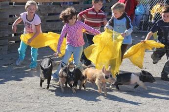 Fryeburg Fair - Chasing pigs