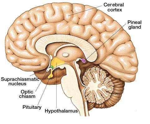 pineal gland 1