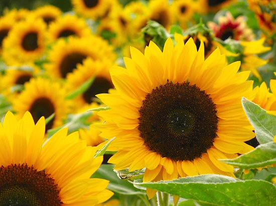 http://tinyfarmblog.com/category/csa/ sunflower