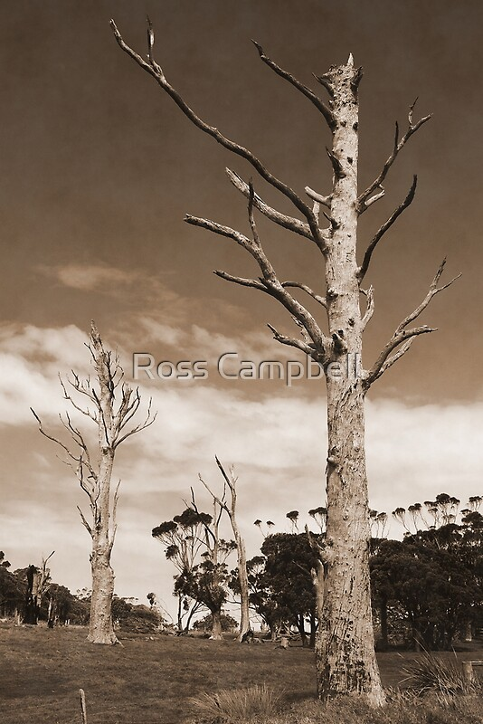 Dead Gum Trees by Ross Campbell  Redbubble