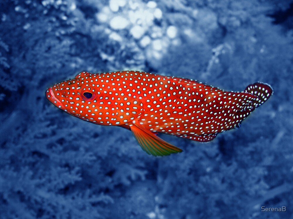 Coral Trout by SerenaB  Redbubble