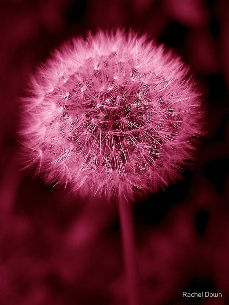 Pink Dandelion by Rachel Down  Redbubble