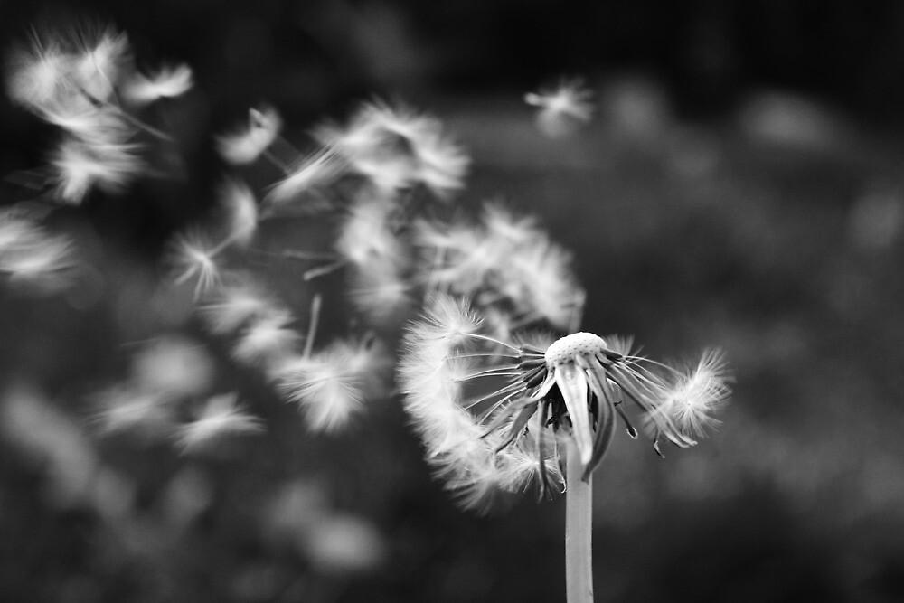 dandelion blowing in the breeze by adam9596  Redbubble
