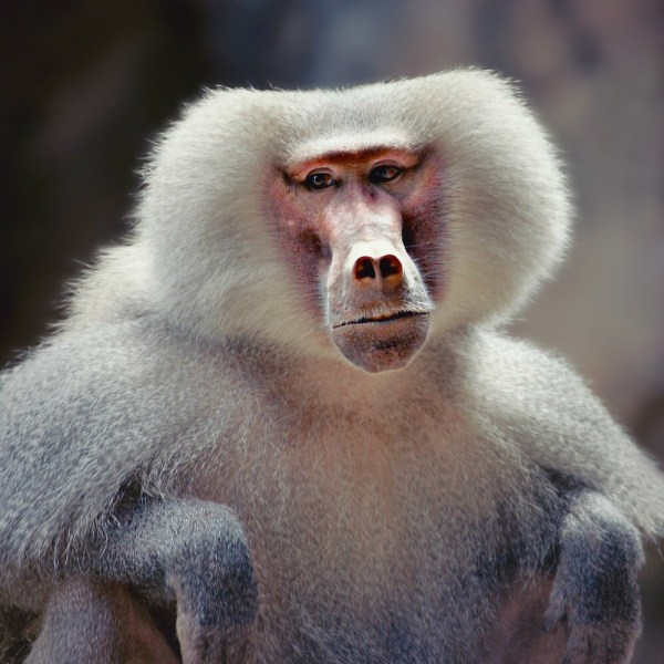 """hamadryas Baboon "" Roger Smith Redbubble"
