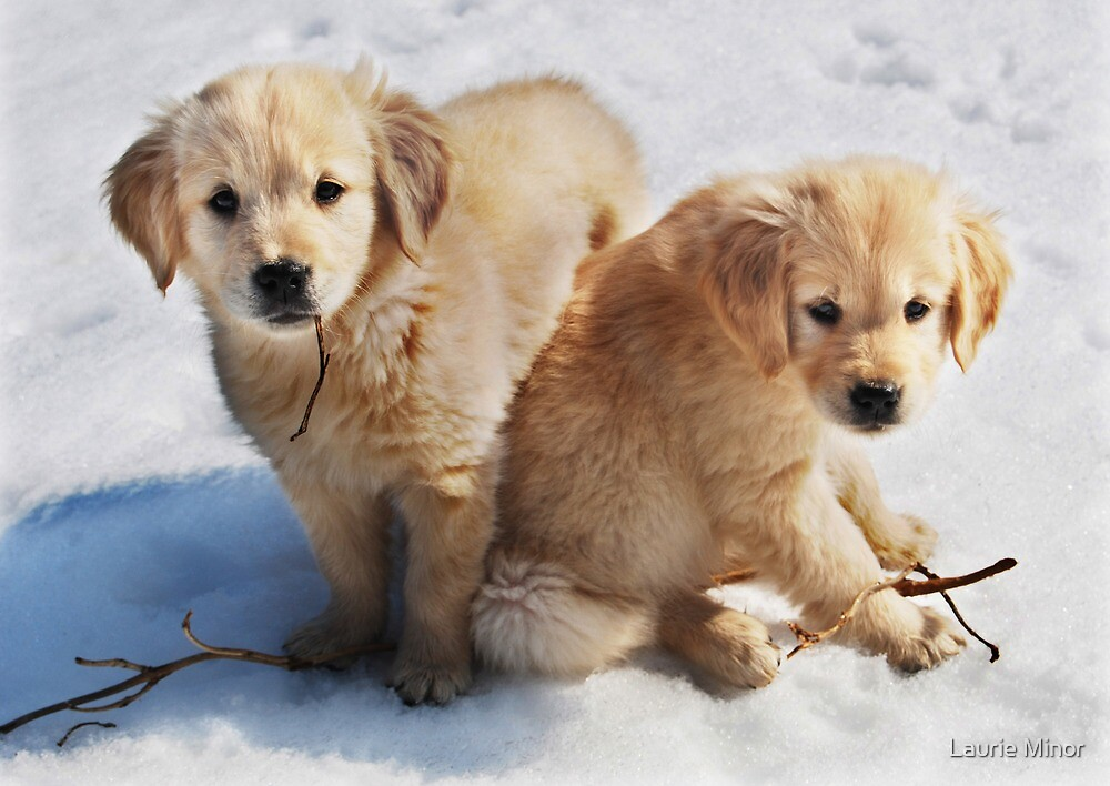 Golden Retriever Puppies First Winter 3 By Laurie Minor