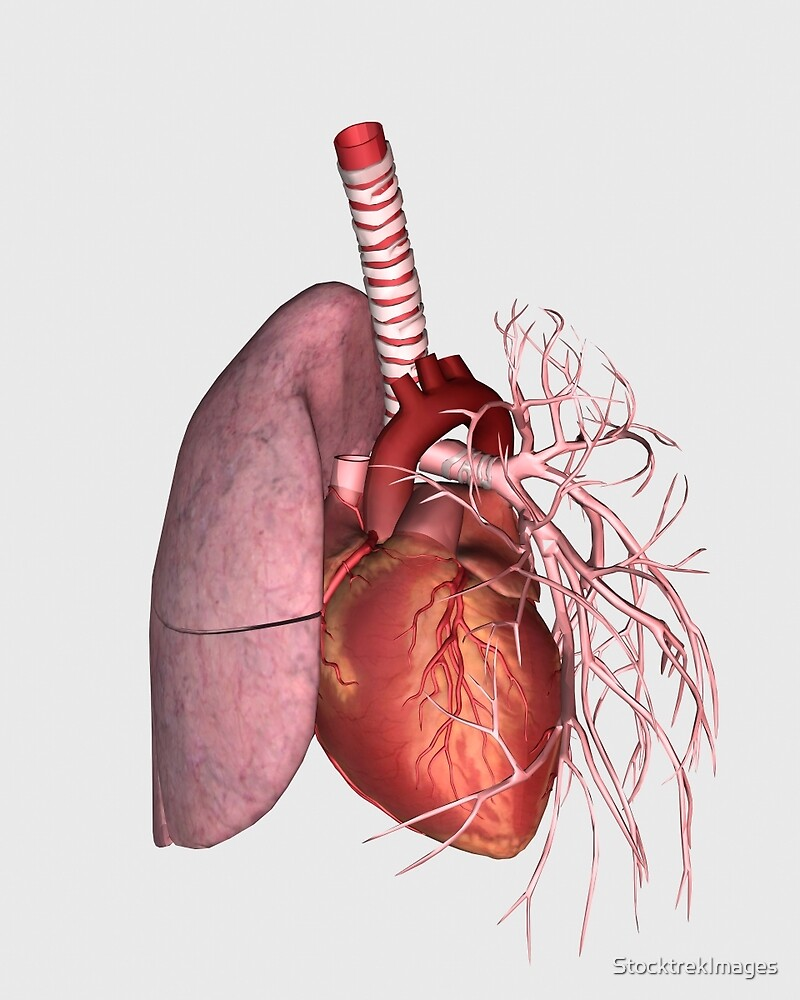 hight resolution of pulmonary circulation of human heart and lung by stocktrekimages