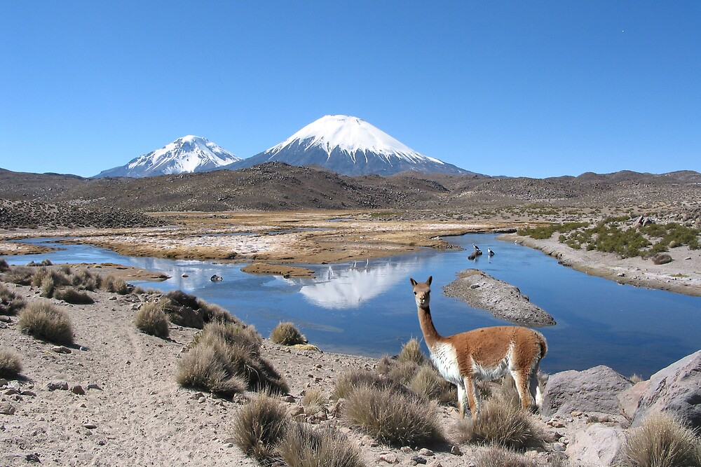 VICUNA LAUCA NATIONAL PARK By Michael Sheridan Redbubble