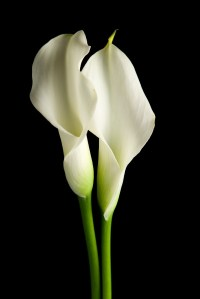 """""""Two White Calla Lilies"""" by C5Photography"""