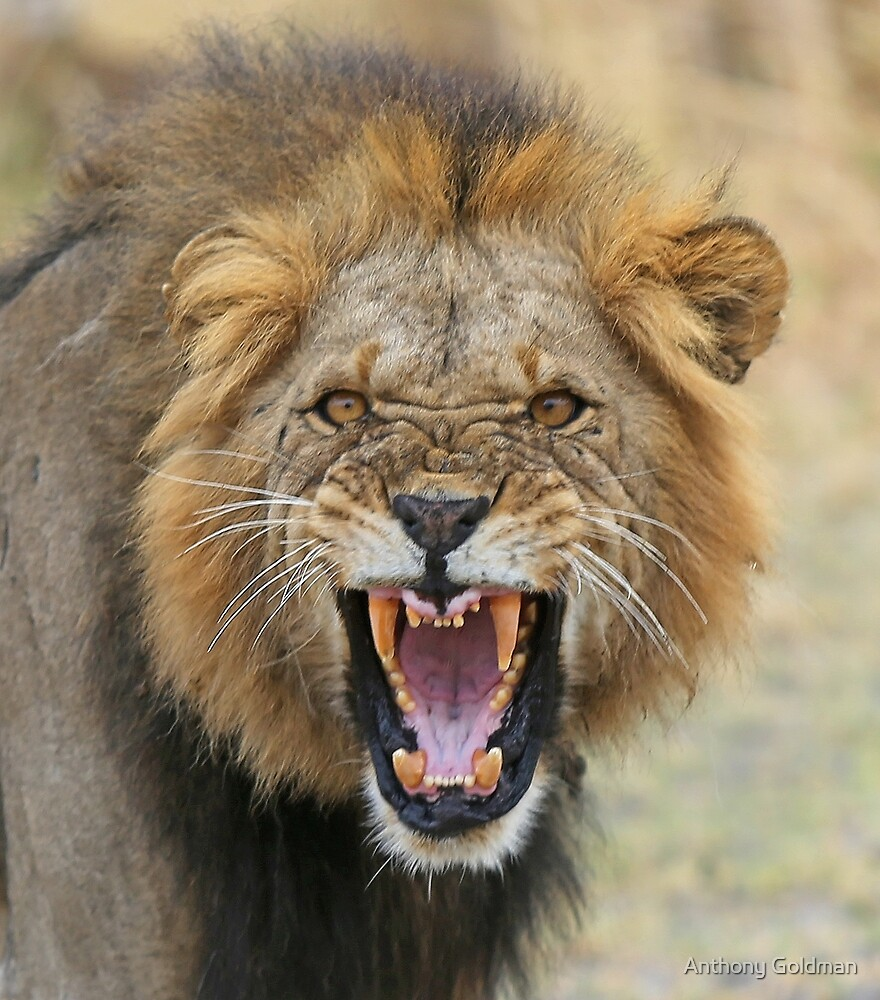 angry lion by anthony