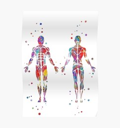 muscular system watercolor anatomy art human muscles medical art skeletal muscles man body poster [ 1000 x 1000 Pixel ]