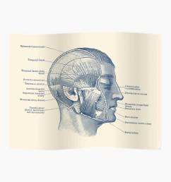 face muscular diagram vintage anatomy poster by vaposters redbubble [ 1000 x 1000 Pixel ]