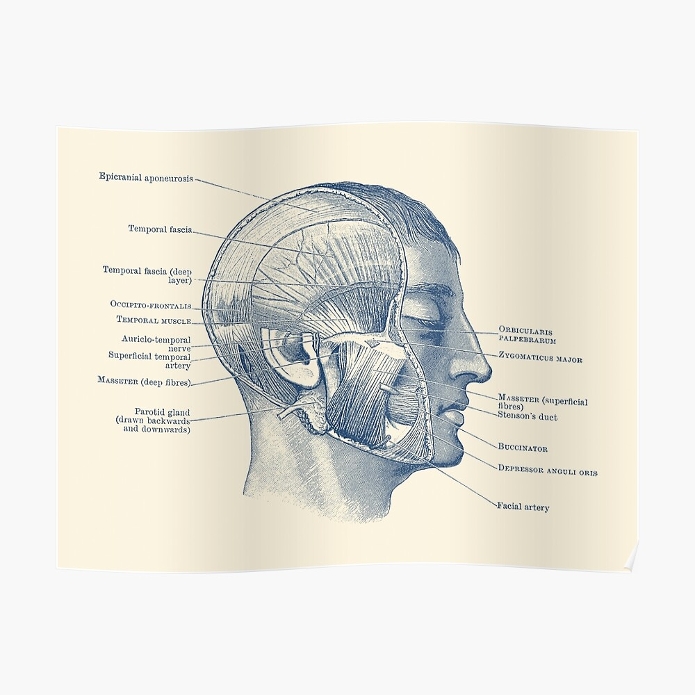 hight resolution of  face muscular diagram vintage anatomy poster by vaposters redbubble
