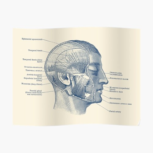 small resolution of  face muscular diagram vintage anatomy poster by vaposters redbubble