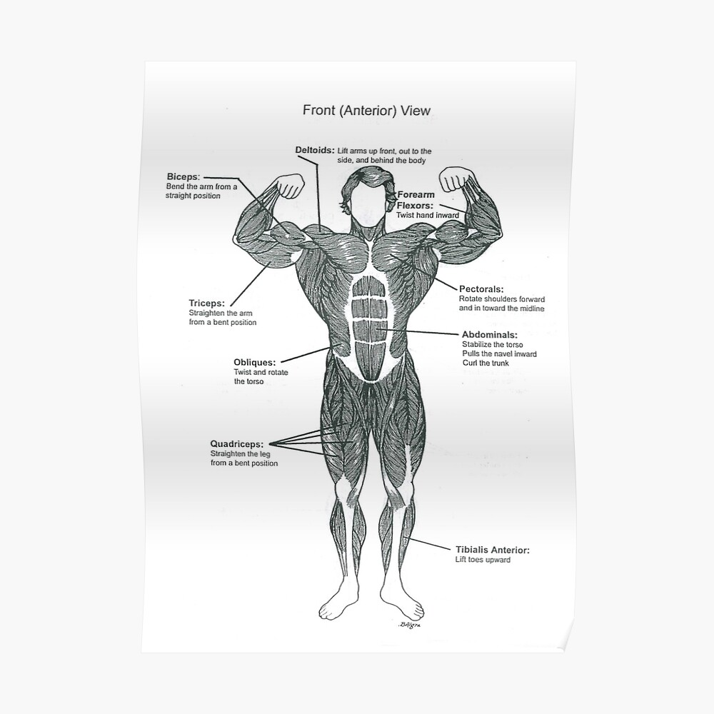 hight resolution of  anatomy diagram muscle chart front poster by superfitstuff redbubble