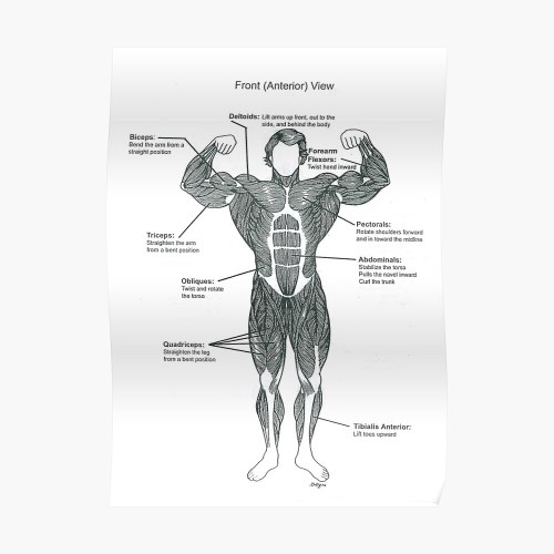 small resolution of  anatomy diagram muscle chart front poster by superfitstuff redbubble