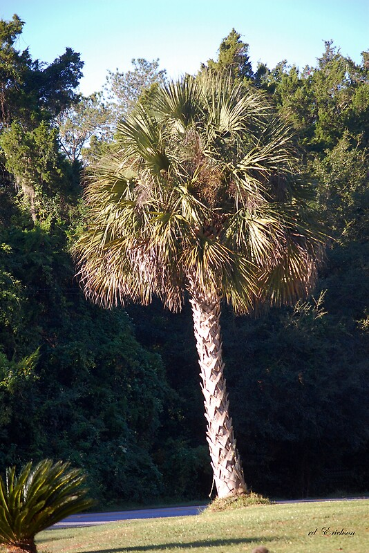 Sabal Palm the State Tree of Florida by rd Erickson