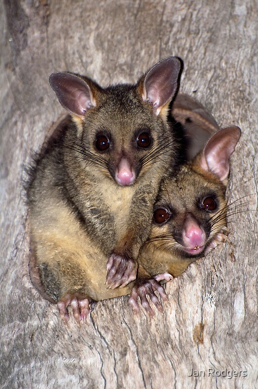 Coco and Yoyo  Australian Possum and Her Baby by