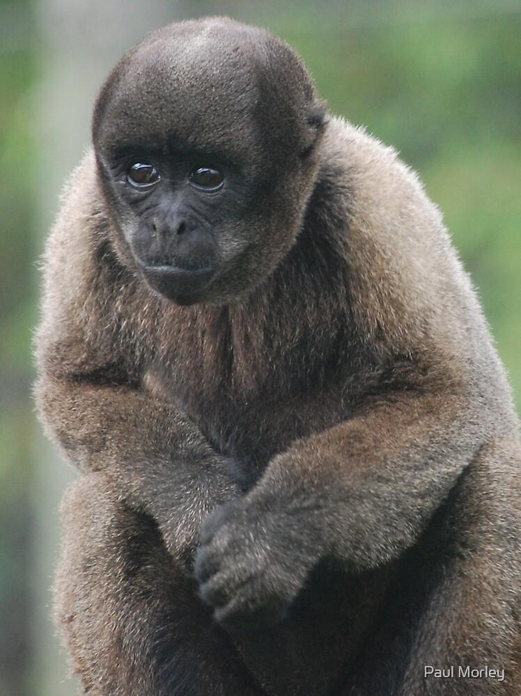 Woolly Monkey By Paul Morley Redbubble
