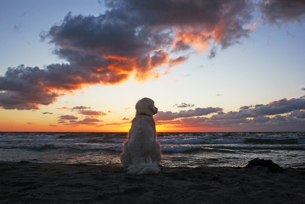 Ditte  the sunset dog by Trine  Redbubble
