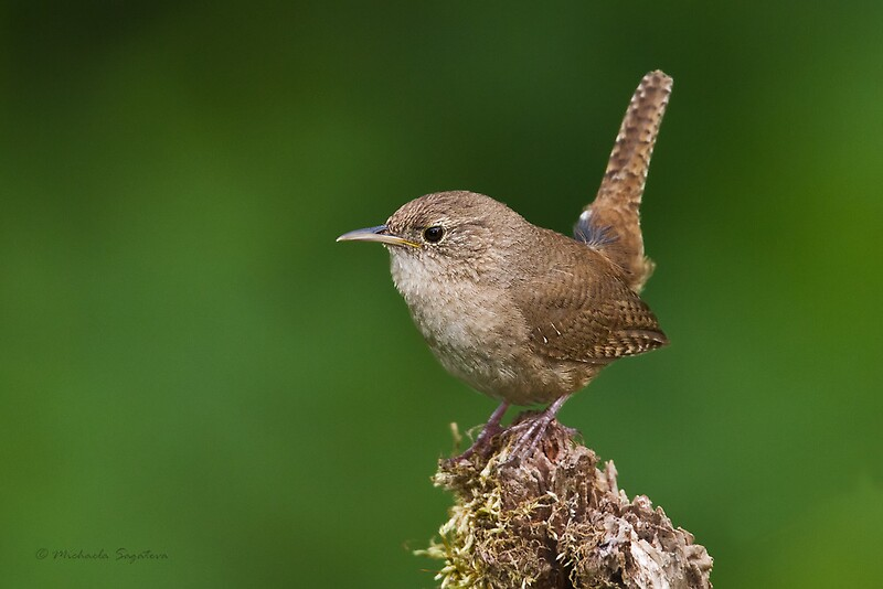 House Wren By PixlPixi Redbubble