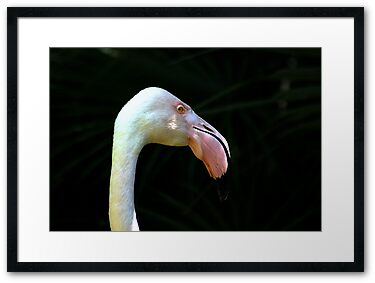 Flamingo Pink, Framed Photograph, by Stephen Mitchell, on Redbubble.com