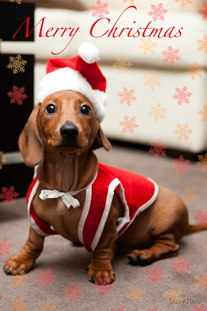 Merry Christmas Sausage Dog By Dave Reid Redbubble