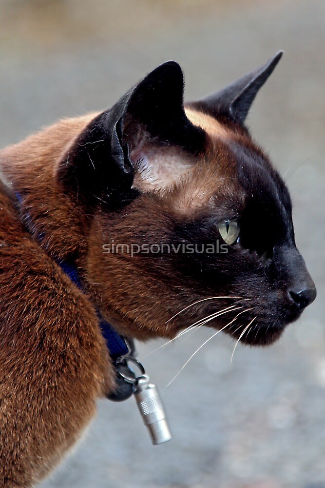 Havana Brown Cat by simpsonvisuals  Redbubble