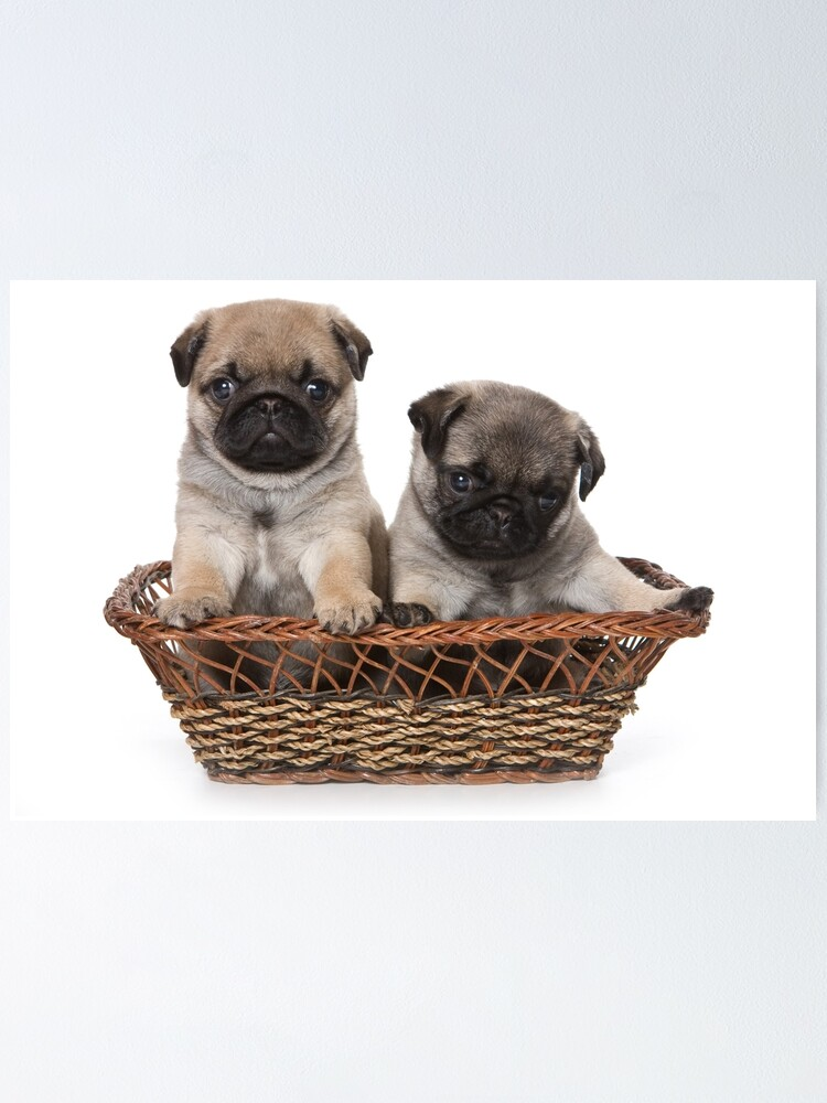 Funny Cute Pug Puppies Poster By Utekhina Redbubble