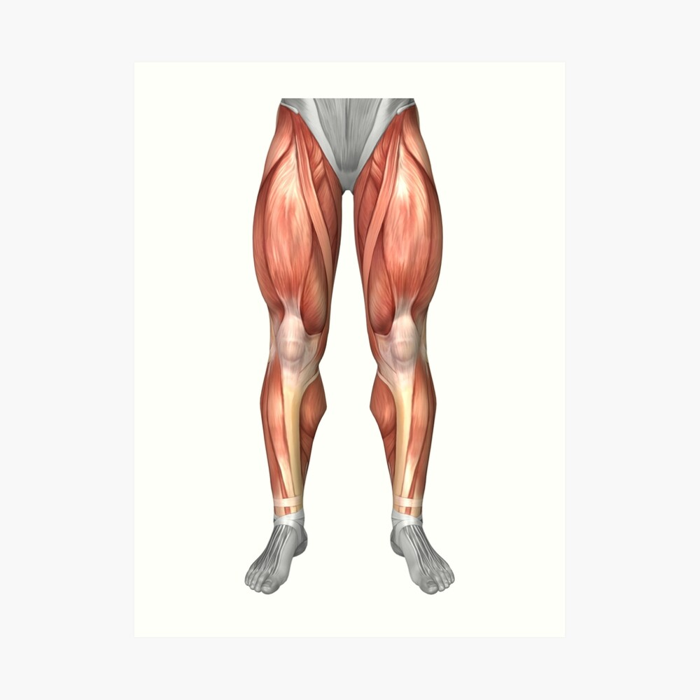 hight resolution of  diagram illustrating muscle groups on front of human legs art print by stocktrekimages redbubble