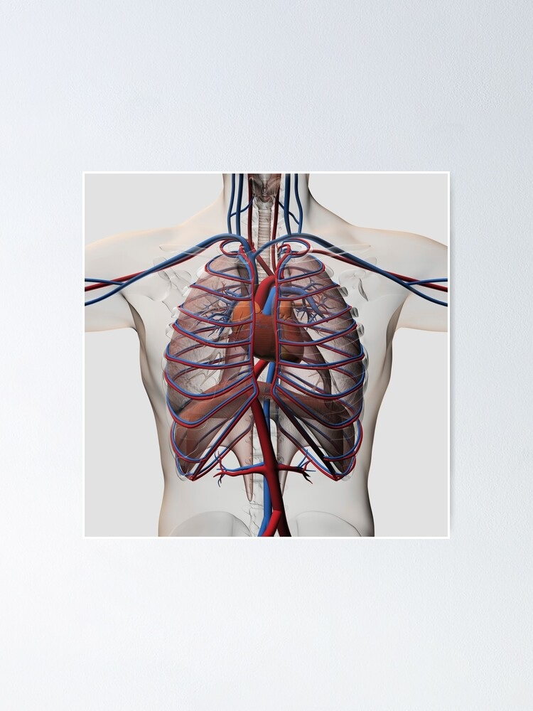 Rib Cage Diagram With Heart : diagram, heart, Medical, Illustration, Chest, Arteries,, Veins,, Heart, Cage.
