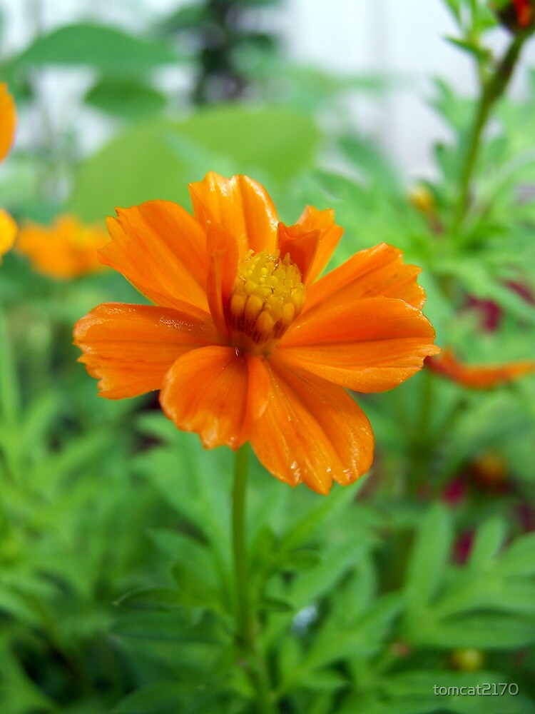 small bright orange flower by tomcat2170  Redbubble
