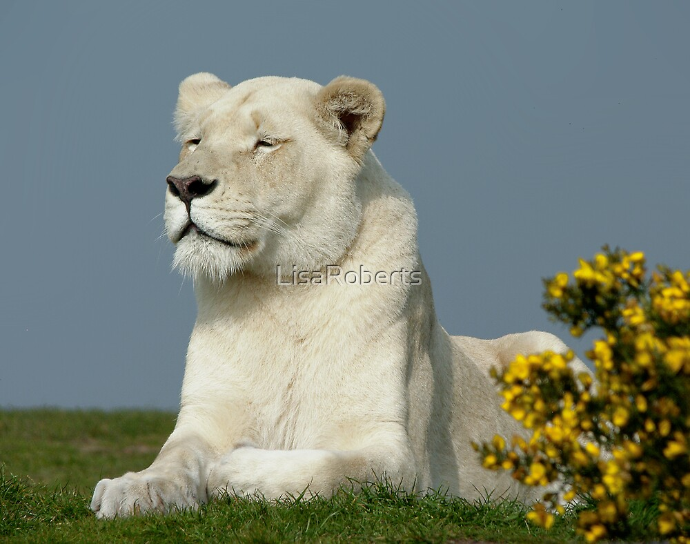 White Lioness by LisaRoberts  Redbubble