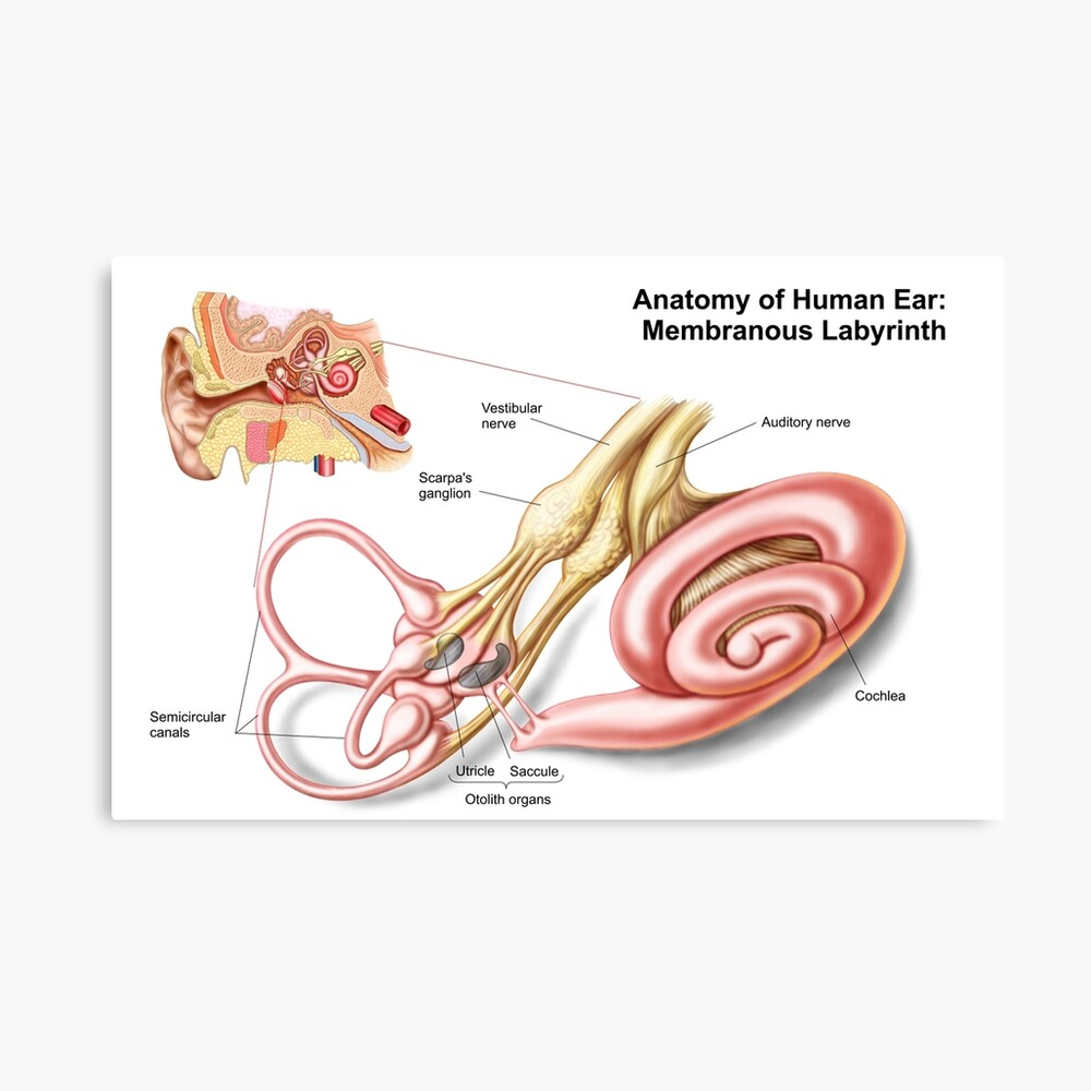hight resolution of anatomy of human ear membranous labyrinth