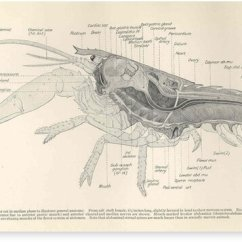 Vintage Diagram 95 240sx Headlight Wiring Lobster Anatomy 1911 Canvas Prints By Bravuramedia