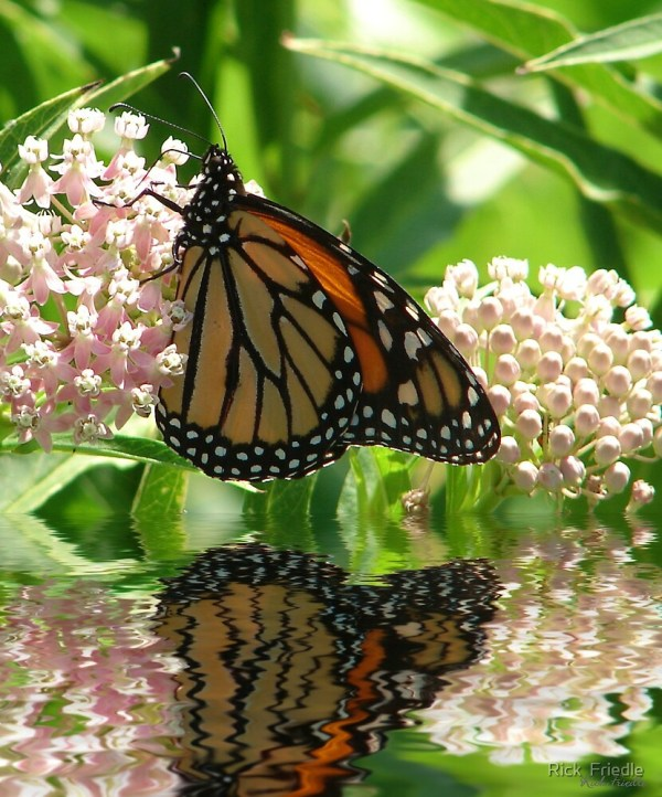 """monarch"" Rick Friedle Redbubble"