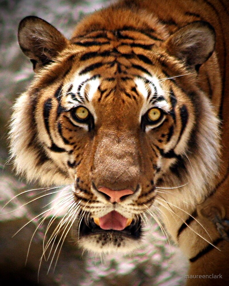tiger s face by