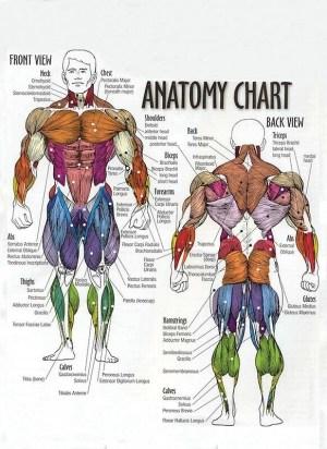 Fitness Muscle Diagram – Blog Dandk